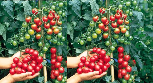 Hình ảnh QJiSWCm của Những công dụng tuyệt vời của quả cà chua đối với sức khỏe tại HieuMobile