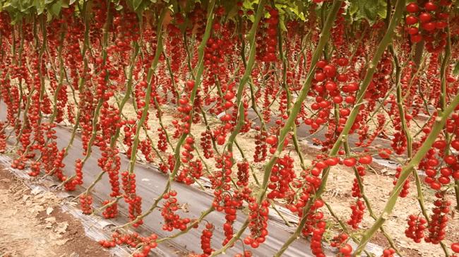 Hình ảnh XqTLQmq của Những công dụng tuyệt vời của quả cà chua đối với sức khỏe tại HieuMobile